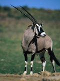 Gemsbok or South African Oryx  Kgalagadi Transfrontier Park  Northern Cape  South Africa