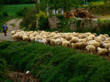 Shepherd Leading Flock of Sheep  Belorado  Spain