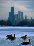 Four Canada Geese on Frozen Lagoon with North Loop Skyline in Background  Chicago  USA