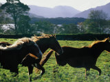 Three Horses Cantering Through Field  Ireland