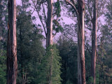 Mountain Ash and Rainforest Understorey in the Styx Valley  Tasmania  Australia