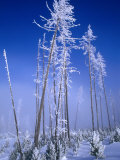Hoarfrosted Trees  Yellowstone National Park  Wyoming  USA