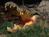 Saltwater Crocodile (Crocodylus Porosus)  Kakadu National Park  Australia
