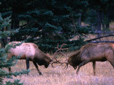 Male Elk (Cervus Elaphus) Fighting During the Rut  Jasper National Park  Alberta  Canada