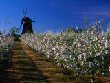 Apple Orchard and Windmill  Kivik  Sweden