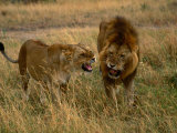 Lion and Lioness Growling at Each Other  Masai Mara National Reserve  Rift Valley  Kenya