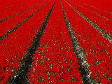 Red Tulip Field in Lisse  Amsterdam  North Holland  Netherlands