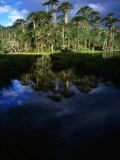 Native Araucaria or Monkey-Puzzle Trees Reflected in Lake  Cani Sanctuary  Chile
