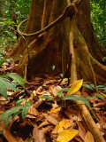 Root Buttress in Jungle on the Osa Peninsula  Corcovado National Park  Puntarenas  Costa Rica