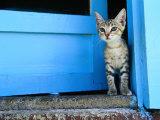 Kitten Standing in Doorway  Apia  Samoa