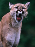 Cougar (Felis Concolor)  USA