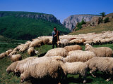 Shepherd with His Flock of Sheep  Turda  Romania