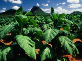 Tobacco Plants with Mountains Behind  Glass House Mountains  Queensland  Australia