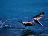 Brown Pelican (Pelecanus Occidentalis) Taking Flight  Ecuador