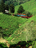 Boh&#39;s Sungais Palas Estate Tea Plantation  Cameron Highlands  Perak  Malaysia