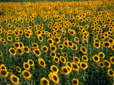 Fields of Sunflowers Around Oristano  Oristano  Sardinia  Italy