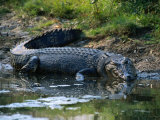 Saltwater Crocodile on Waters Edge  Kakadu National Park  Australia