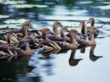 Plumed Whistling Ducks (Dendrocygna Eytoni)  Australia