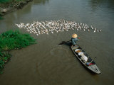 Boatsperson Herding Flock of Ducks Away from Boat on Mekong Delta  Vietnam
