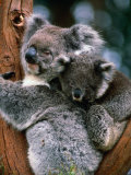 Koala with Baby (Phascolarctos Cinereus)  New South Wales  Australia