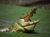 Nile Crocodile (Crocodylus Niloticus) at the Kachikaly Crocodile Pool  Bakau  Western  Gambia  The