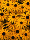 Black Eyed Susan Flowers (Rudbekia Hirta) at Ballard Locks  Seattle  USA