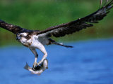 European Osprey (Pandion Haliaetus) with Fish  Finland