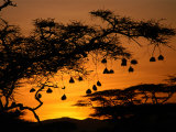 Nests of Spectacled Weaver Hanging from Acacia Trees  Buffalo Springs National Reserve  Kenya
