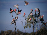 Galahs (Cacatua Roseicapilla)  Currawinya National Park  Queensland  Australia