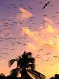 Frigate Birds Soaring at Sunrise Around Coconut Palms  Cayos Cochinos  Islas De La Bahia  Honduras
