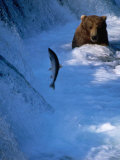 Brown Bear (Grizzly) Fishing at Waterfall  Alaska  USA