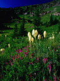 Beargrass (Xerophyllum Tenax) Near Eagle Pass  Mission Mountains Tribal Wilderness  Montana  USA