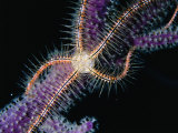 Brittle Star on a Gorgonian  Belize  Belize