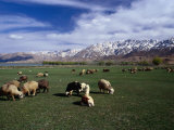 Sheep Graze on Fertile Green Pastures of Zagros Plains  Iran