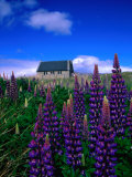 Wildflowers Near the Church of the Good Shepherd  Lake Tekapo  Canterbury  New Zealand