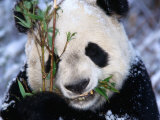Panda Eating Bamboo in the Wolong Valley at the Sleepy Dragon Nature Reserve  Sichuan  China