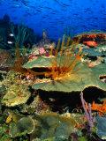 Coral Plates  La Sorciere  Soufriere Bay  Soufriere  Dominica