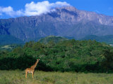 Lone Giraffe (Giraffa Camelopardalis) in Front of Mt Meru  Mt Meru  Arusha  Tanzania