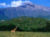 Lone Giraffe (Giraffa Camelopardalis) in Front of Mt Meru  Mt Meru  Arusha  Tanzania