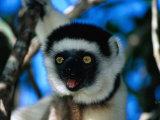 Verreaux's Sifaka (Propithecus Verreauxi Verreauxi) in Nahampoana Reserve  Toliara  Madagascar