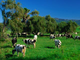 Dairy Cattle Grazing on Property Between Towns of Berry and Kiama  New South Wales  Australia