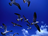 Flock of Franklin's Gulls (Larus Pixpican) in Flight  Costa Rica