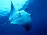 Underside of Manta Ray Between Batteaux Bay and Little Tobago Island, Trinidad & Tobago Papier Photo par Michael Lawrence