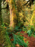 Hall of Mosses Trail  Olympic National Park  Washington  USA