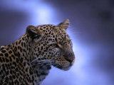 Leopard (Panthera Pardus)  Masai Mara National Reserve  Kenya