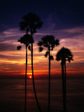 Sunset and Silhouetted Palm Trees at Phrom Thep Cape  Thailand