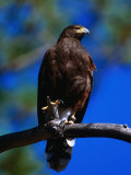 Harris Hawk (Parabuteo Unicintus)  Perquin  El Salvador