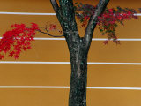 Bright Red Maple Leaves Against a Yellow Temple Wall  Kyoto  Kinki  Japan