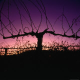 Chardonnay Cordon at Sunset on the Walker Ranch in the Napa Valley  California  USA