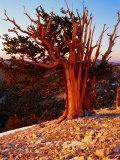 Bristlecone Pine in the White Mountains  eastern California